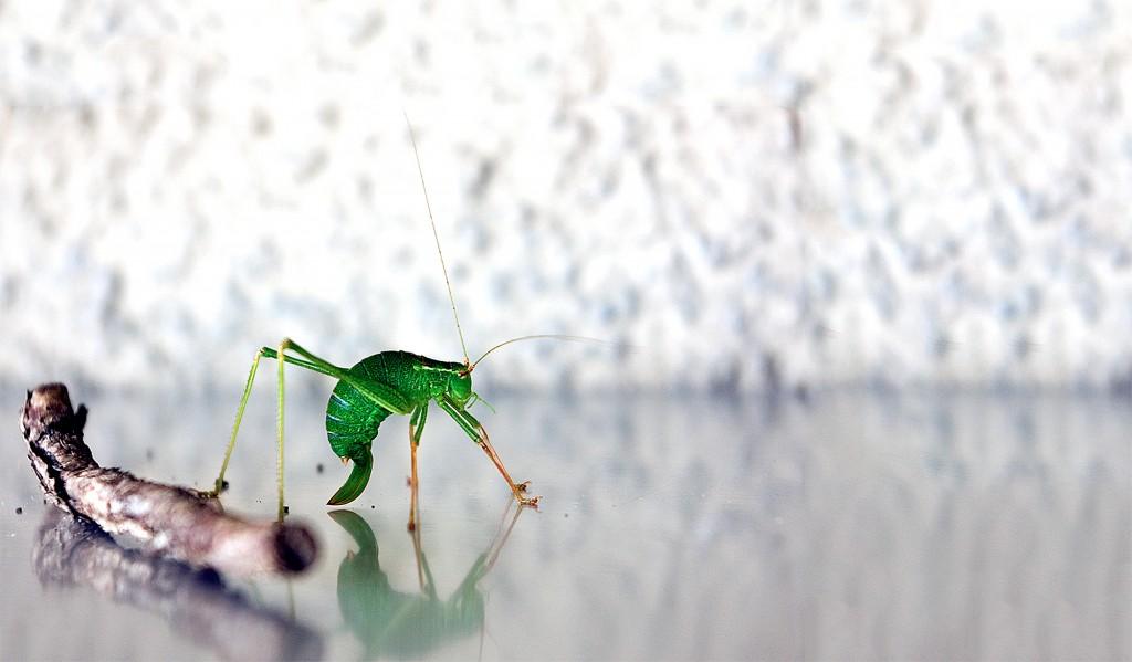 grasshopper_0